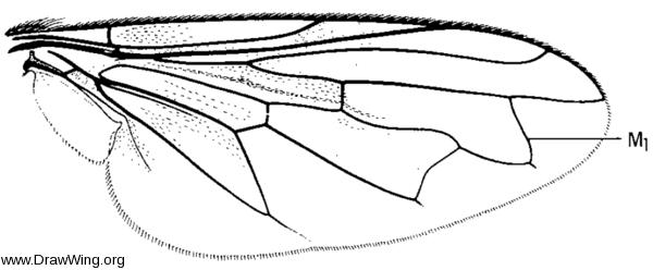 Orthonevra pulchella, wing
