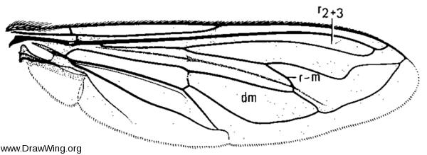 Milesia virginiensis, wing