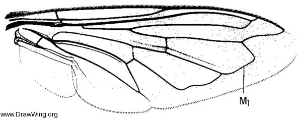Volucella bombylans, wing