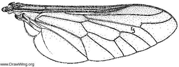 Pilimas californicus, wing