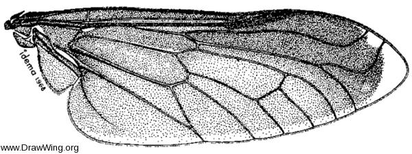 Bolbodimyia atrata, wing