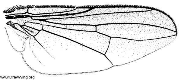 Freraea montana, wing