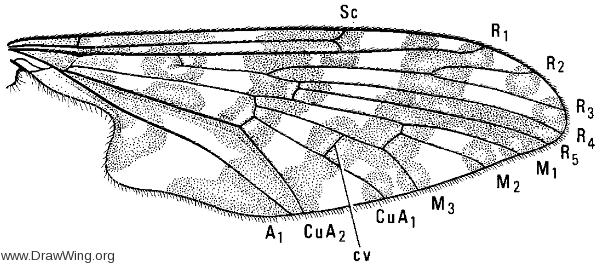 Protoplasa fitchii, wing
