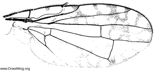 Euaresta aequalis, wing