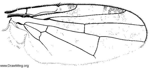 Acinia picturata, wing