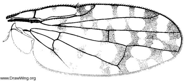 Paroxyna clathrata, wing