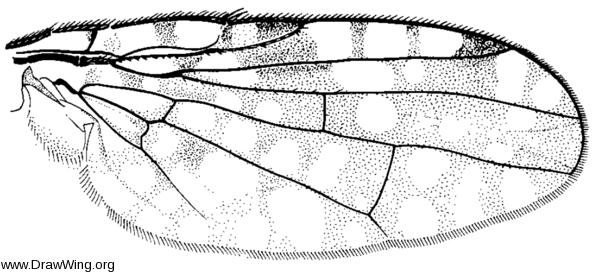 Neotephritis finalis, wing