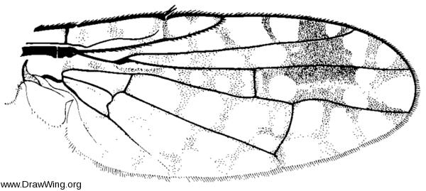 Euarestoides acutangulus, wing