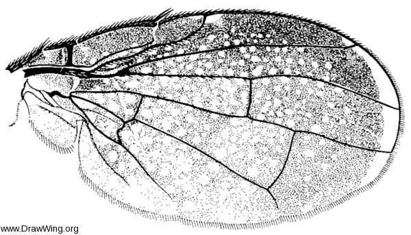 Eutreta frontalis, wing