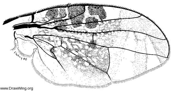 Acrotaenia testudinea, wing