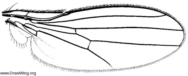 Pelomyiella mallochi, wing