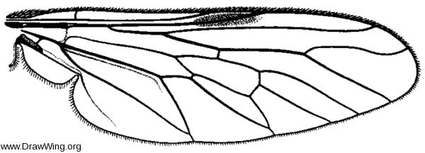 Ozodiceromya signatipennis, wing