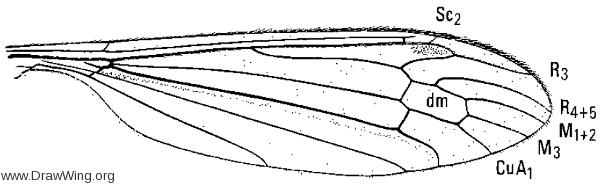Liogna nodicornis, wing