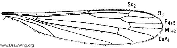 Limonia (Alexandriaria) whartoni, wing