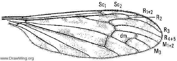 Limonia (Metalimnobia) immatura, wing