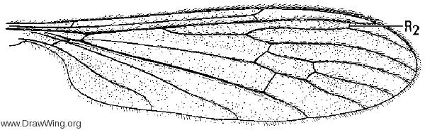 Diuanoptycha germana, wing