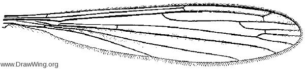 Orimarga (Diotrepha) mirabilis, wing