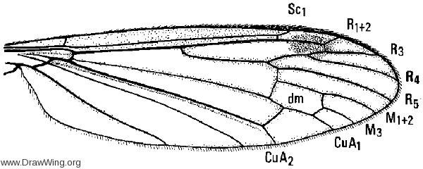 Hexatoma (Eriocera) longicornis, wing