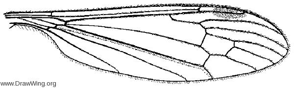 Elephantomyia westwoodi, wing