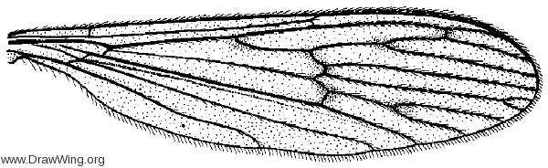 Polynera rogersiana, wing