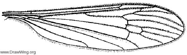 Pseudolimnophila noveboracensis, wing