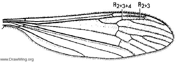 Austrolimnophila toxoneura, wing