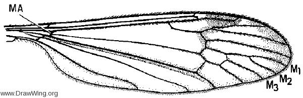 Limnophila (Phylidorea) adusta, wing
