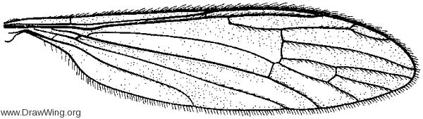 Gononyia (Lipophleps) sulphurella, wing
