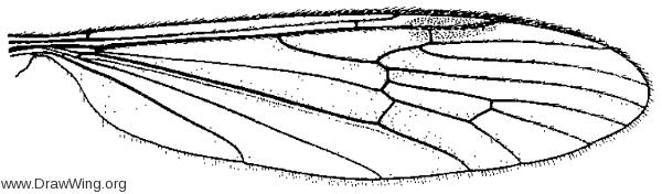 Gnophomyia tristissima, wing