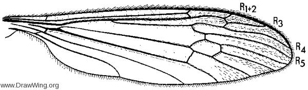 Lipsothrix nigrilinea, wing