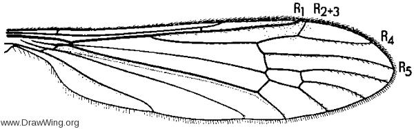 Rhabdomastix (Sacandaga) californiensis, wing
