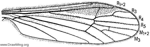 Empedomorpha empedoides, wing