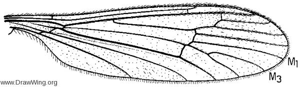 Hesperoconopa melanderi, wing