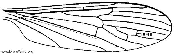 Erioptera (Hoplolabis) armata, wing
