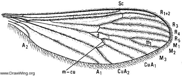Paracladura trichoptera, wing