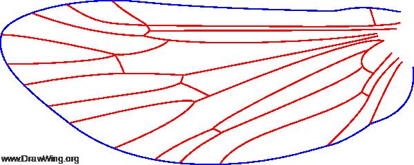 Polycentropus interruptus, female, hind wing