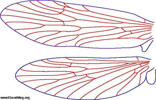 Rhyacophila acropedes, wings