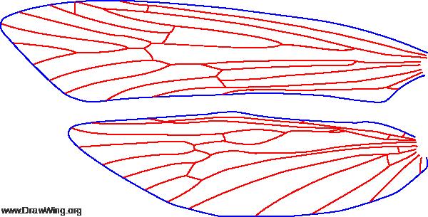 Marilia flexuosa, female, wings