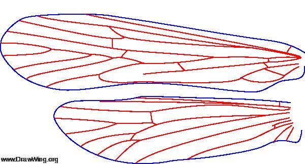 Molanna flavicornis, female, wings
