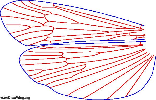 Phanocelia canadensis, wings