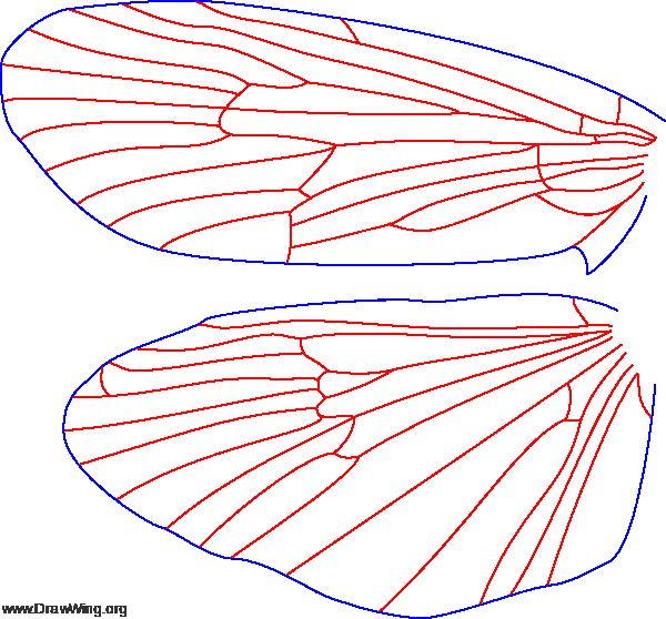 Phryganea cinerea, male, wings