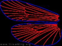 Allomyia bifosa, wings