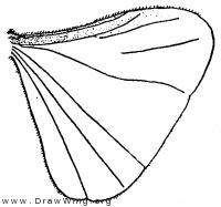 Acroschismus hubbardi, wing