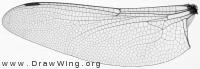Aeshna juncea, hind wing