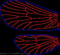 Agapetus hessi, wings