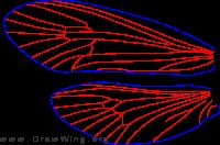 Agarodes distinctus, male, wings