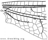 Albardia furcata, base of fore wing