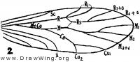 Amphientomum paradoxum, fore wing