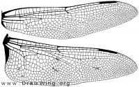 Anax junius, wings