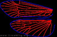 Apatania zonella, male, wings